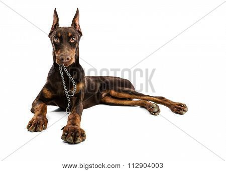 Doberman hold in your mouth your collar -Ready for a walk