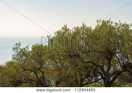 Olives Tree Branches On Italian Coastline, Liguria