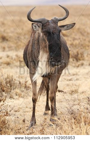 Wildebeest standing alone facing the camera