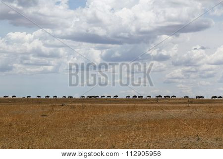 A Line of Wildebeests Walking