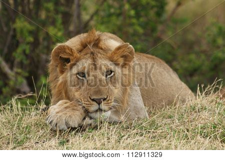 Lion Resting Near a Bush