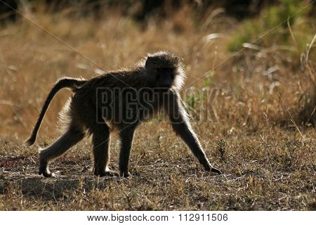 A Baboon Walking