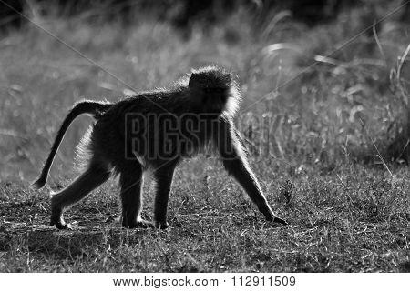 A Baboon Walking B&W