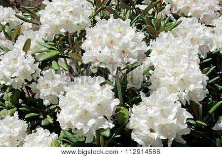 Beautiful White Flowers In The Garden