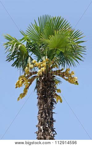 Palm Tree Isolated On Blue