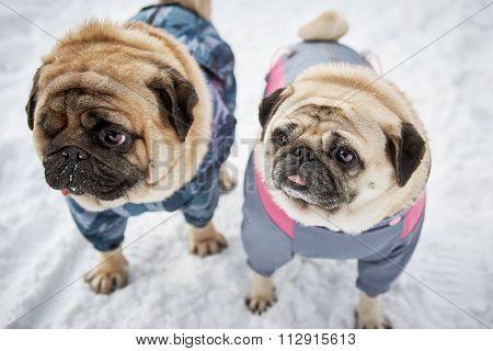 Two Little Pugs In Winter