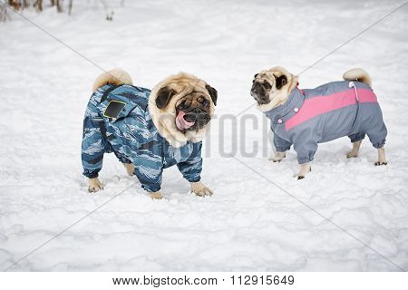 Two Pugs Outdoors
