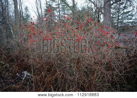 Highbush Cranberry Bush