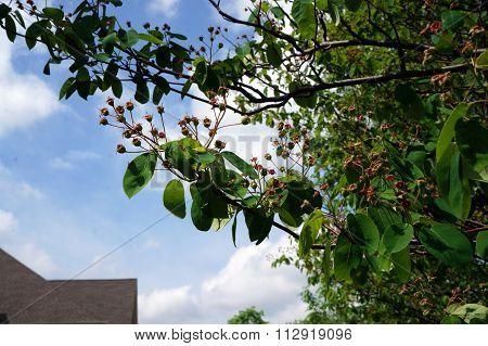 Ripening Service Berries