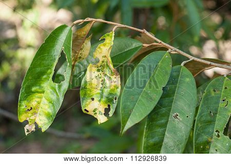 Plant Disease. Septoria leaf spot symptoms on durian tree.
