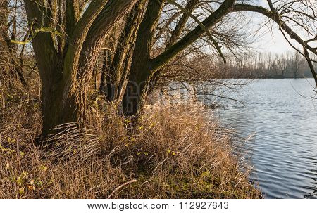 Tree And Yellowed Reeds At The Waterfront