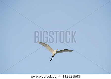 Great Egret Checking Environment