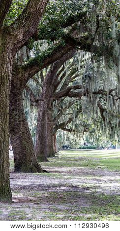 Line Of Old Oaks In Park