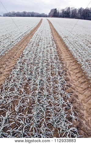 Tractor Tracks Through Frozen Wheat Field
