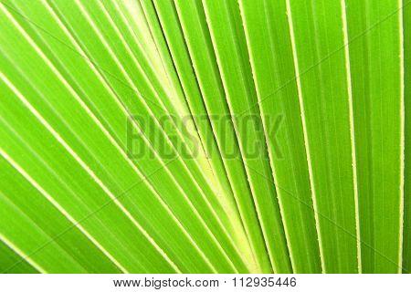 Green coconut leaf backgrond