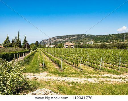 Vine Growing Close To Lake Garda, Italy.