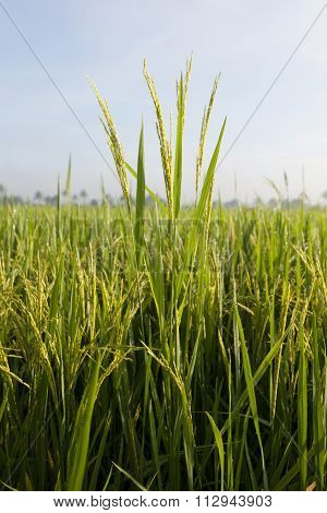Close up of rice paddy at the paddy field