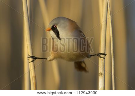 comic bearded tit