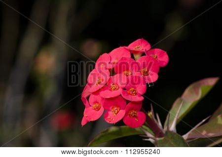 Crown Of Thorns, Christ Thorn.desert Rose (desert Rose).