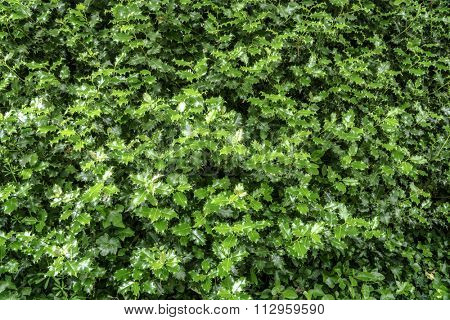 Real holly leaves