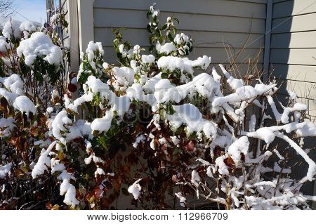 Snow Covers Bushes