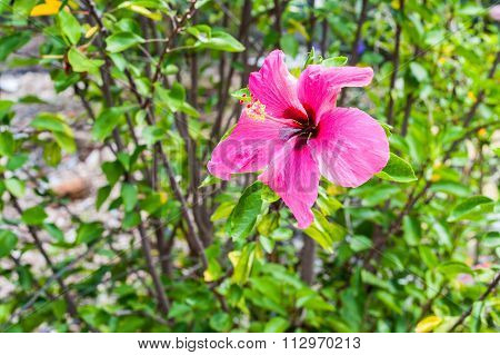 Pretty Pink Hibiscus