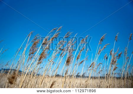 Golden Reed and blue sky