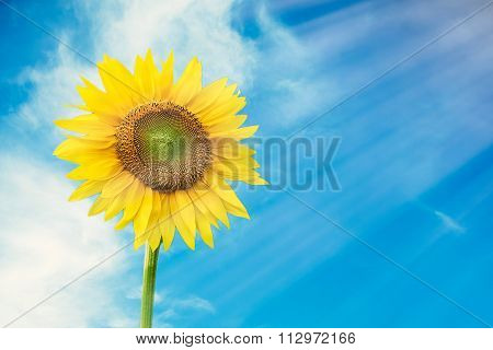 Sunflower in sky background. Sunflower with sun light.