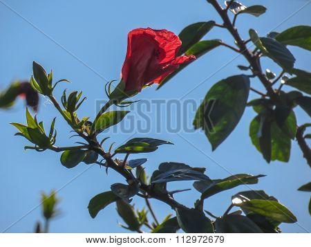Translucent red flower