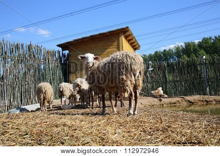 A flock of sheep on farm with pond and wooden stall