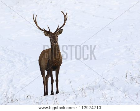Young  Red Deer In Snow