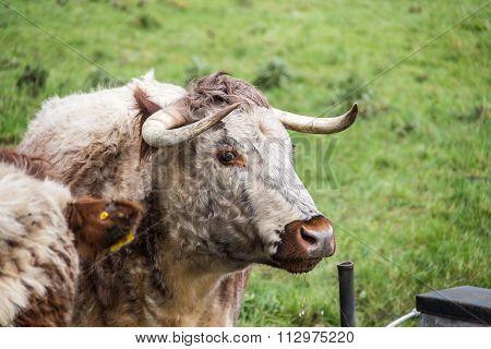 English Longhorn Cattle