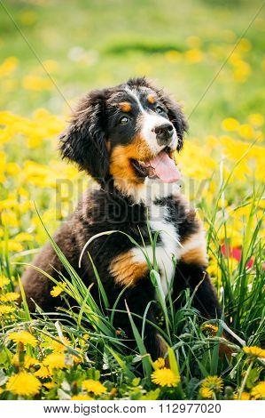 Bernese Mountain Dog or Berner Sennenhund Puppy Sitting In Green