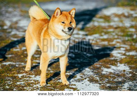 Beautiful Young Red Shiba Inu Dog Outdoor In Spring