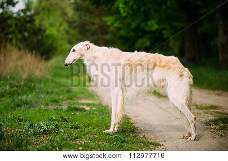 White Russian Wolfhound Dog, Borzoi, Hunting dog, Sighthound sta