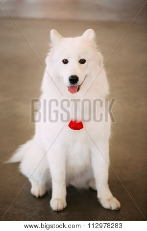 Happy White Samoyed Bjelkier Dog Sitting On Floor