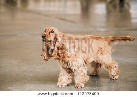 Brown English Cocker Spaniel Dog indoor.