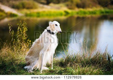 White Russian Borzoi, Borzaya Hunting Dog near river