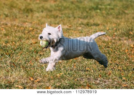 Small White West Highland White Terrier - Westie, Westy Dog