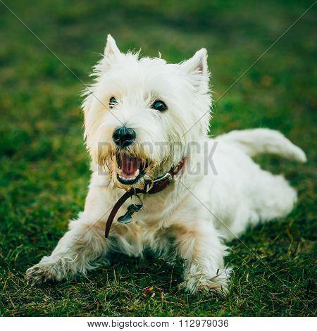 Small West Highland White Terrier - Westie, Westy Dog