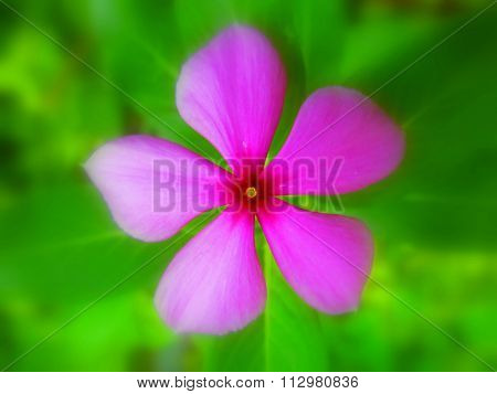 Beautiful pink flower with five petals top angle and green blurred background