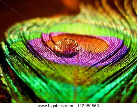 Closeup of Single water drop on beautiful Indian Peacock's quill with vibrant Purple and Green color