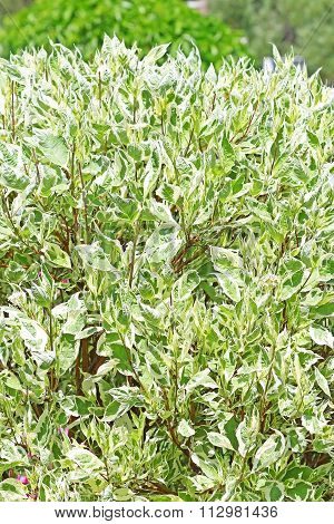 Derain White Ornamental Shrubs (cornus Alba)
