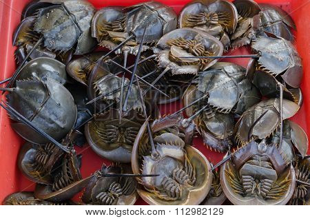 Fresh Horseshoe Crab In Market.