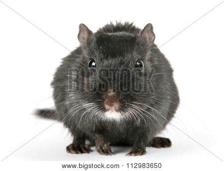 Cute Black Male Rodent Isolated On White Background