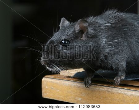 Cute Black Male Rodent Silhouette On Black