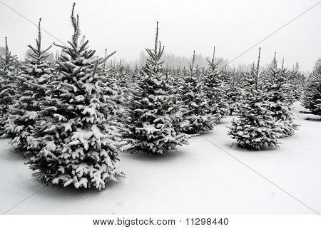 Tree Farm Snow, Washington State