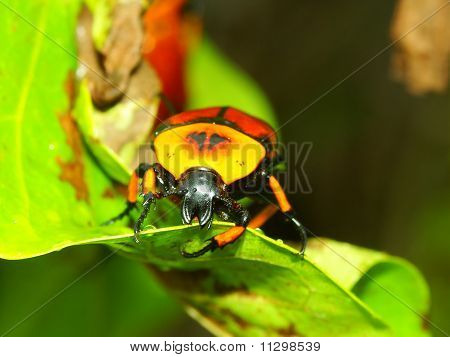 Flower Beetle - Queensland