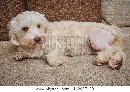 Havanese Dog With A Scar On The Left Left