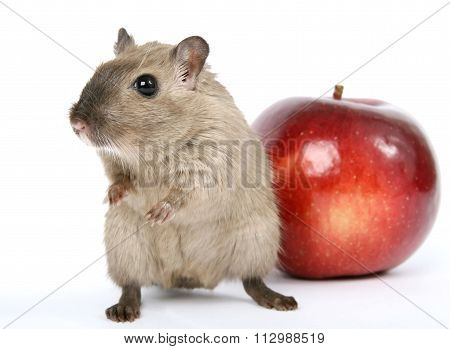 Concept Photo Of A Rodent By Healthy Red Apple